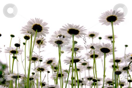 Daisies on white stock photo, Row of wild daisies isolated on white background by Elena Elisseeva