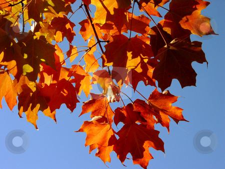 Fall Maple Leaves and Sky stock photo, Fall red transparent maple leaves on the background of bright blue sky by Elena Elisseeva