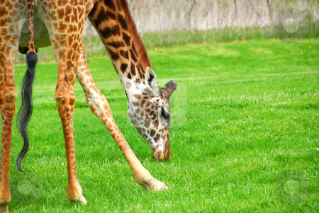Giraffe stock photo, Tall giraffe spreading his legs to reach the grass by Elena Elisseeva
