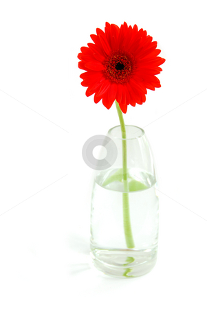 Red gerbera in a vase stock photo, Red gerbera in a glass vase on white background by Elena Elisseeva