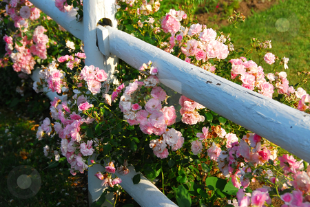 Pink roses fence stock photo, Pink roses at the white painted country house fence by Elena Elisseeva