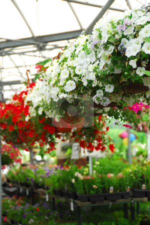 Greenhouse stock photo, Rows of flowers for sale in a greenhouse by Elena Elisseeva