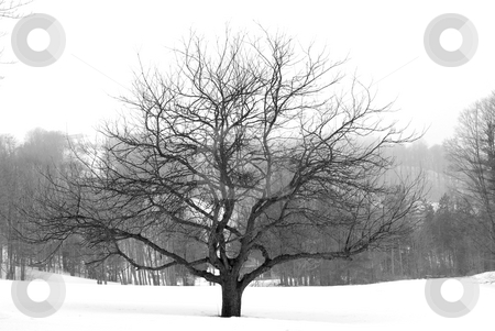 Apple tree in winter stock photo, Apple tree in winter, black and white by Elena Elisseeva