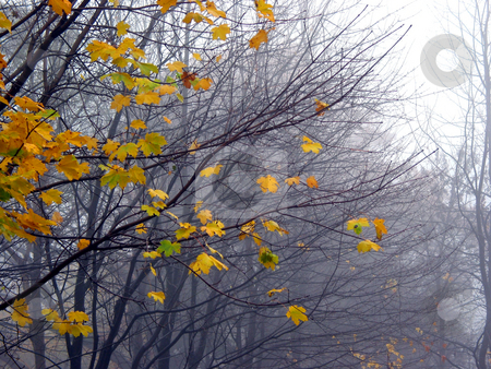 Last maple leaves in the fog stock photo, Last leaves on the maple tree branches on a rainy foggy late fall day by Elena Elisseeva
