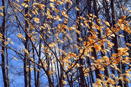 Late fall stock photo, Forest in late fall with bright blue sky by Elena Elisseeva