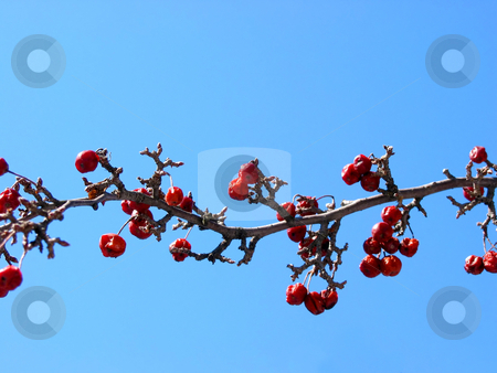 Crabapple tree branch stock photo, Crabapple tree branch on the background of bright blue sky by Elena Elisseeva
