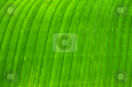 Green leaf background stock photo, Green leaf of a troplical plant close up by Elena Elisseeva