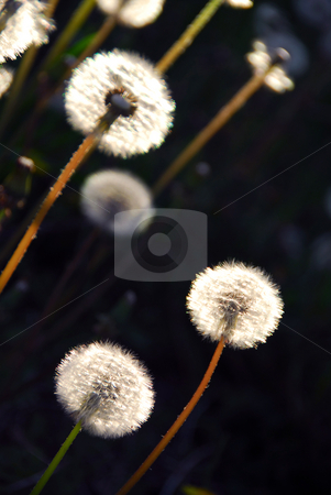 Dandelion stock photo, White seeding dandelions in late afternoon sunlight by Elena Elisseeva