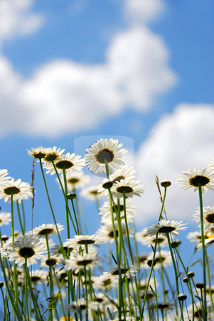 Daises with blue sky stock photo, Summer daises with blue sky by Elena Elisseeva