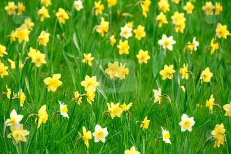 Daffodils stock photo, Background of white and yellow daffodils blooming in green grass by Elena Elisseeva