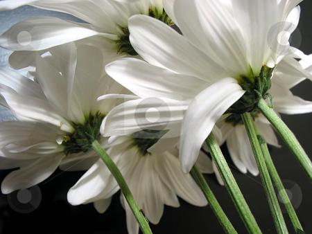 White daisies stock photo, White daisies on black background by Elena Elisseeva