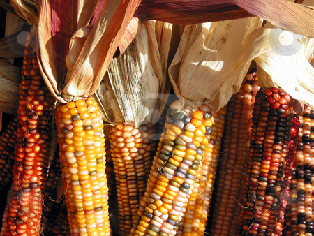 Indian corn stock photo, Colorful indian corn at Thanksgiving time by Elena Elisseeva