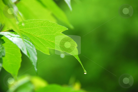 Green leaf rain stock photo, Macro of young green leaf with hanging raindrop by Elena Elisseeva