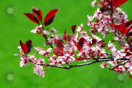 Bloomig cherry tree stock photo, Blooming cherry branch, green grass background by Elena Elisseeva