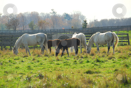 Horses stock photo, Horses on a ranch - white mares with brown colts by Elena Elisseeva