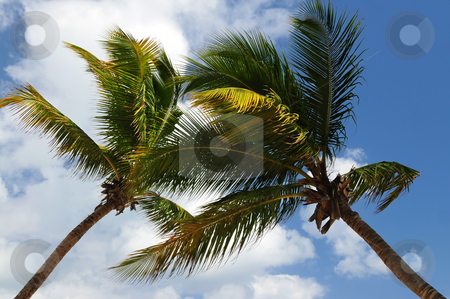 Palm trees stock photo, Two palm tree tops on blue sky background by Elena Elisseeva