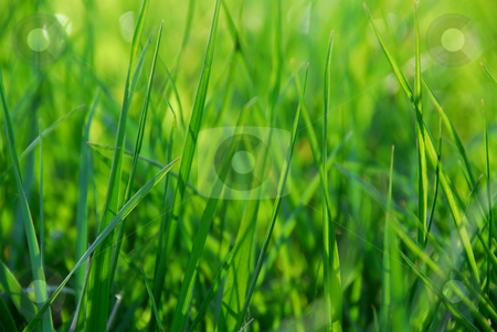 Green grass stock photo, Green grass macro background with grass blades by Elena Elisseeva