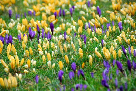 Crocus field stock photo, Field of blooming crocuses by Elena Elisseeva