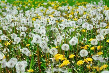 Field of dandelions stock photo, Dandelion field by Elena Elisseeva