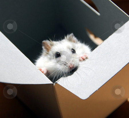 Hamster in a box stock photo, White dwarf hamster standing up in a box by Elena Elisseeva