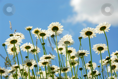 Daises with blue sky stock photo, Summer daises with blue sky landscape by Elena Elisseeva