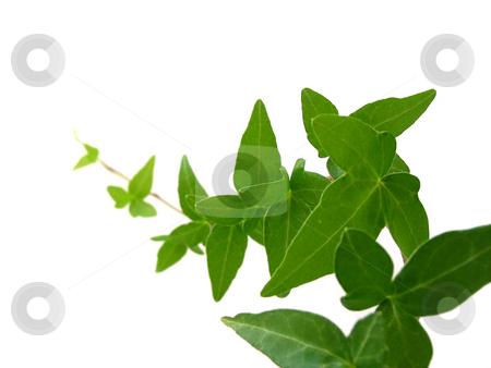Ivy on white background 1 stock photo, Green ivy closeup on white background by Elena Elisseeva