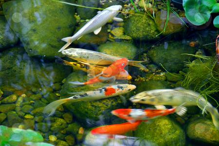 Koi stock photo, Koi fish in a natural stone pond by Elena Elisseeva