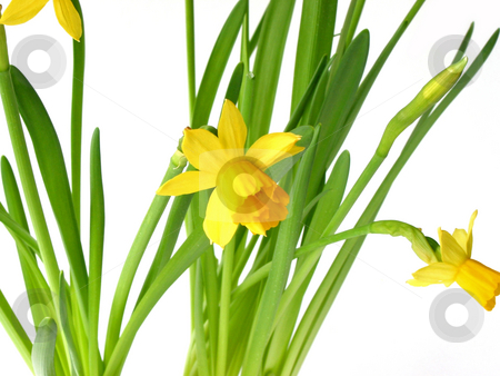 Daffodils on white stock photo, Spring daffodils on white background by Elena Elisseeva