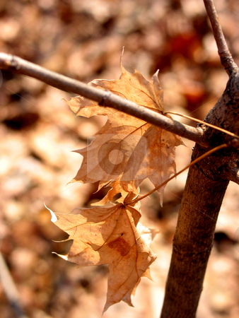 Brown winter stock photo, Closeup on brown dry maple leaves on young maple tree in winter; hues of brown by Elena Elisseeva