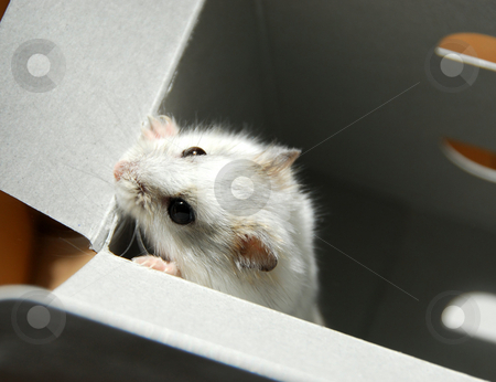 Hamster in box stock photo, White dwarf hamster trying to escape by Elena Elisseeva