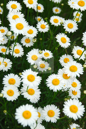 Summer daisies stock photo, Wild daisies growing in a green meadow by Elena Elisseeva