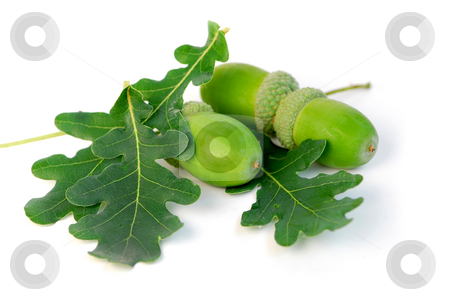 Acorns oak leaves stock photo, Acorns with green oak leaves close up by Elena Elisseeva