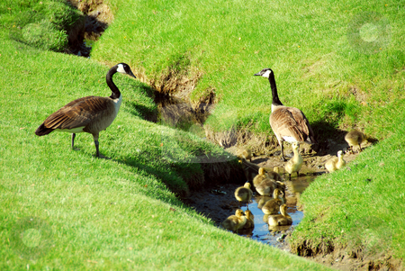 Goose family stock photo, Canadian geese with goslings in a small brook by Elena Elisseeva