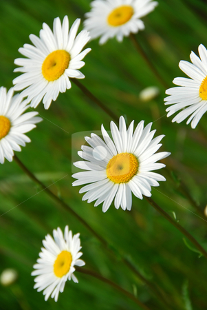 Summer daisy stock photo, Beatiful summer daisies by Elena Elisseeva