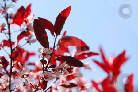 Bloomig cherry stock photo, Blooming cherry with blue sky by Elena Elisseeva