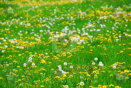 Dandelion field stock photo, A field of blooming and seeding dandelions by Elena Elisseeva