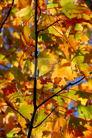 Fall maple leaves stock photo, Backlit colorful fall maple leaves with bright blue sky by Elena Elisseeva