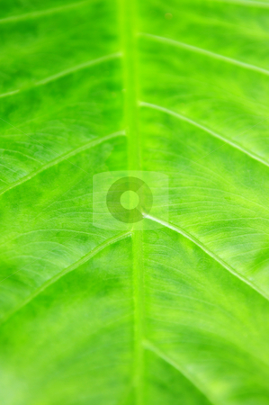 Green tropical leaf background stock photo, Botanical abstract background of green leaf of tropical plant by Elena Elisseeva