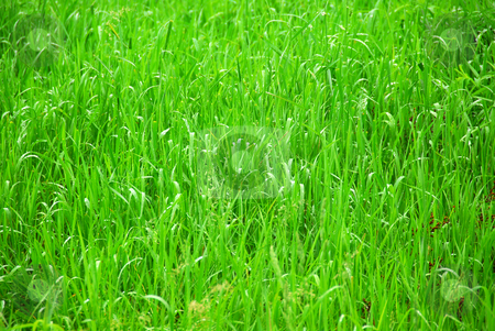 Green grass stock photo, Background of tall grass wet from rain by Elena Elisseeva