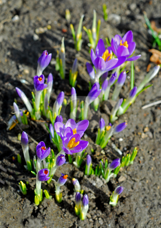 Crocus growing stock photo, Crocuses grown out of the ground in early spring by Elena Elisseeva