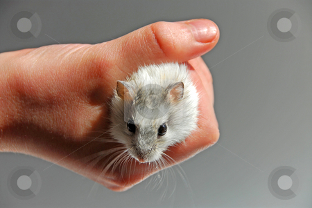 Hamster child hand stock photo, Dwarf hamster in child's hand by Elena Elisseeva