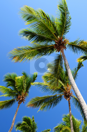 Palms on blue sky background stock photo, Palm tree tops on blue sky background by Elena Elisseeva