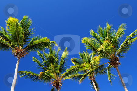 Palms on blue sky background stock photo, Background of bright blue sky with sunny palm tree tops by Elena Elisseeva