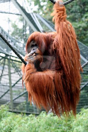 Orangutan Portrait stock photo, Portrait of alpha male orangutan. by Martin Crowdy