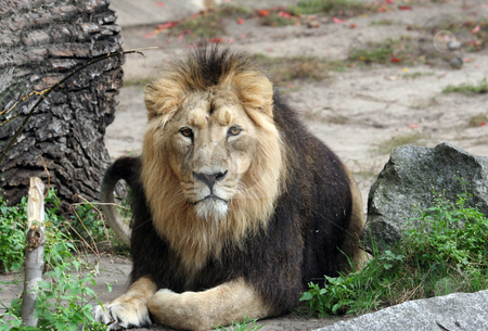 Portrait of sad looking male lion stock photo, Portrait of sad looking male lion by Martin Crowdy