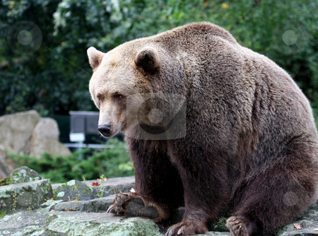 Portrait of Brown Bear stock photo, Portrait of Brown Bear showig details. by Martin Crowdy