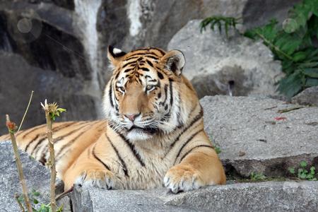 Beautiful Tiger portrait stock photo, Beautiful Tiger portrait looking in portrait. by Martin Crowdy