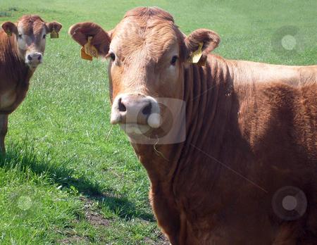 Portrait of brown beef cow