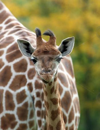 Cute baby Giraffe stock photo, Cute baby Giraffe portrait outside. by Martin Crowdy