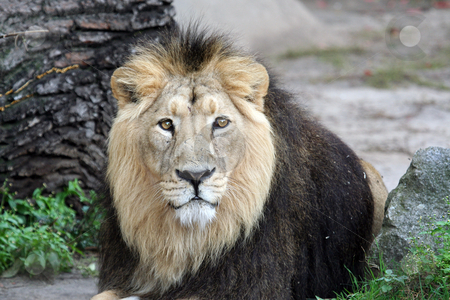 Portrait of sad looking male lion stock photo, Portrait of sad looking male lion by Martin Crowdy